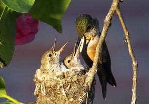 Squeak feeds her chicks, Stardust and Zircon