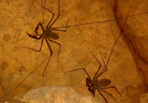 Whip spiders