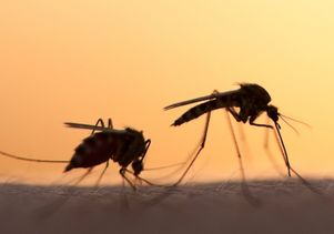 Moquitoes