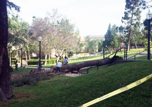 Downed campus pine tree