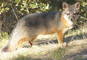 A Channel Island fox
