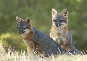 Two Channel Island foxes