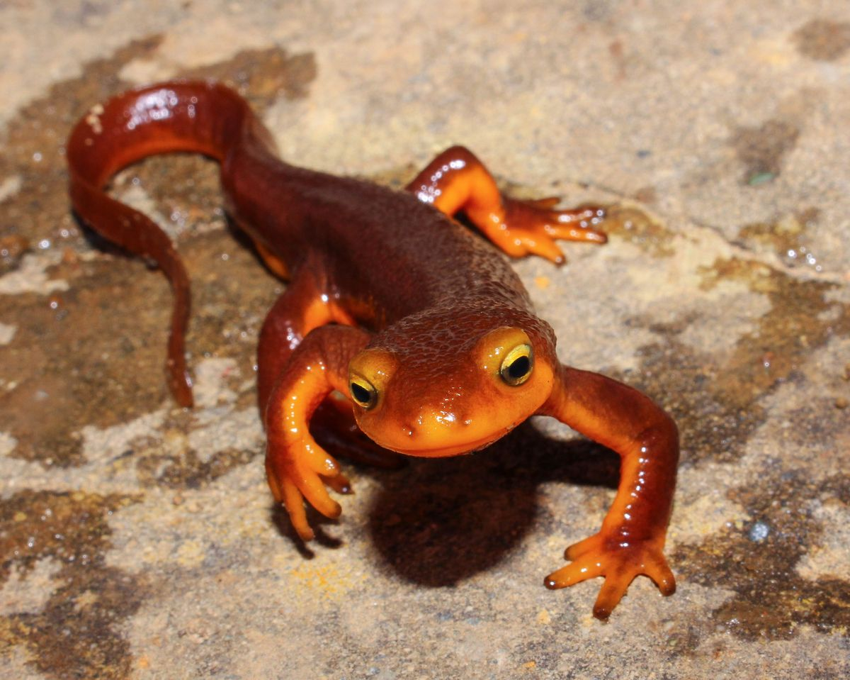 Taricha torosa or the California newt