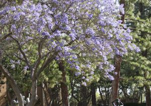 Jacarandas at UCLA