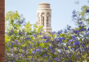 Jacaranda color at UCLA