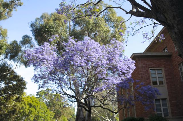 Jacaranda at Murphy Hall