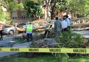 Fallen eucalyptus tree