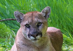 mountain lion los angeles