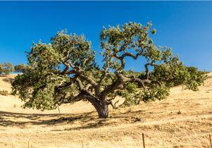 California live oak