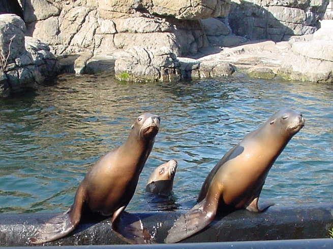 California sea lions
