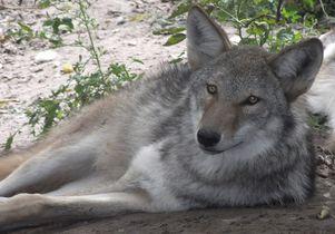 Gray wolf coyote hybrid