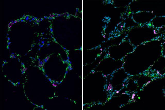Bioengineered lung-like tissue