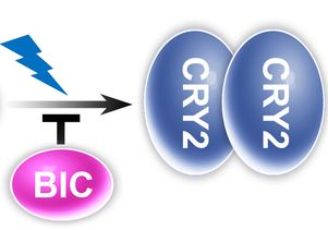 The BIC protein inhibits cryptochromes