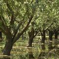 Almond grove irrigation