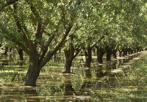 Almond grove irrigation