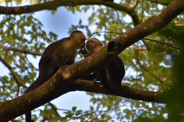 A capuchin monkey sticks its hand in the mouth of another.