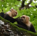 Capuchin handsniffing