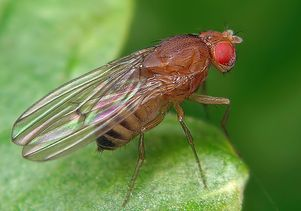 Fruit fly on leaf