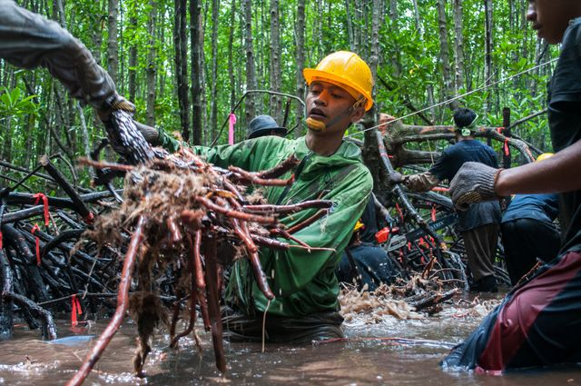 Man pulls up mangrove roots for carbon stock assessment during low tide.