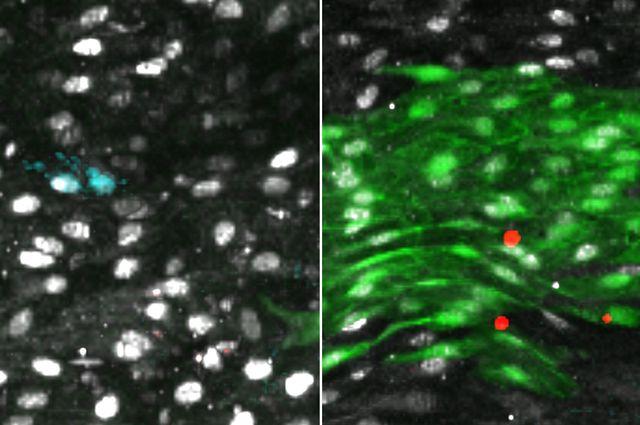Aorta regeneration cell