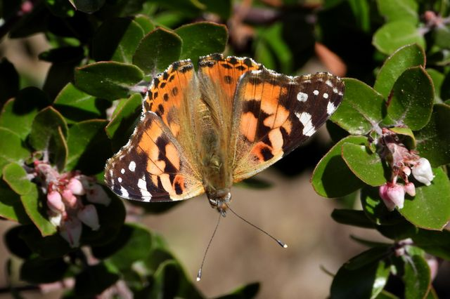 Painted lady butterfly at UCLA