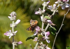 Painted lady on flowers