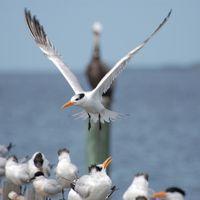 Tern landing