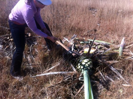 cutting agave