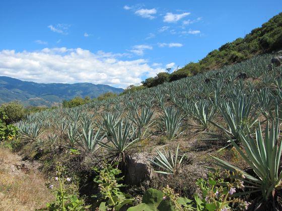 Agave plants near Oaxaca, Mexico