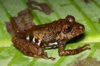 Leaf Litter Frog