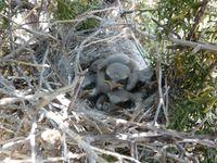 Loggerhead Shrike Nestlings