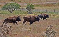 Modern day bison in New Mexico