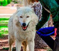 Wild Spirit Wolf Sanctuary