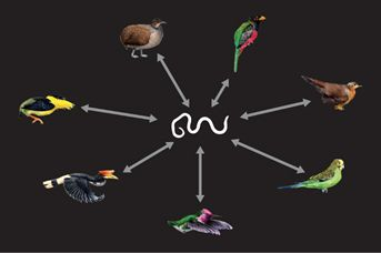 Bird Genomes
