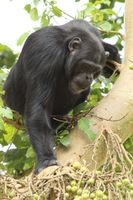 Kibale Chimpanzee Project