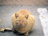 CFA Cat