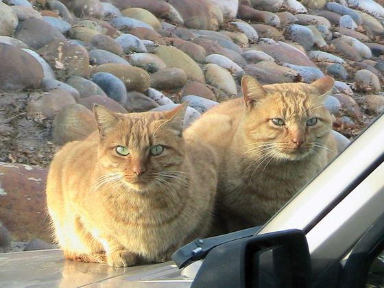 CFA Cats