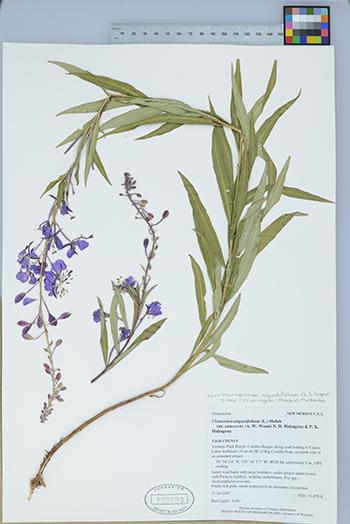 Fireweed specimen