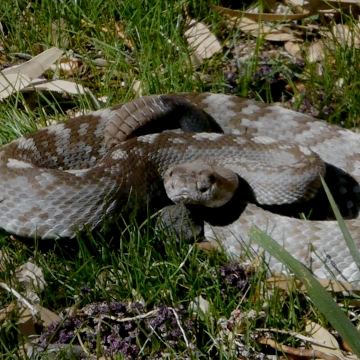 Rattlesnakes in New Mexico