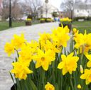 daffodils-queen-anne's_credit-Discover-Newport-3922