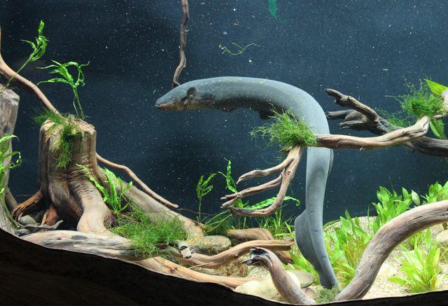 Georgia Aquarium Opens Electric Eel Habitat Georgia Aquarium