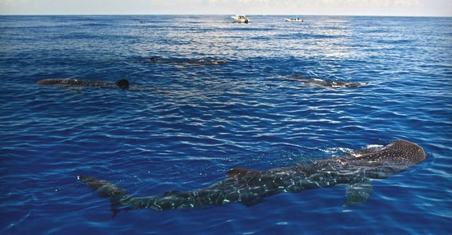Whale shark field research