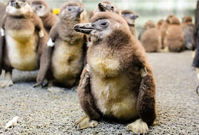Help Conserve a Species by Adopting a Penguin Chick