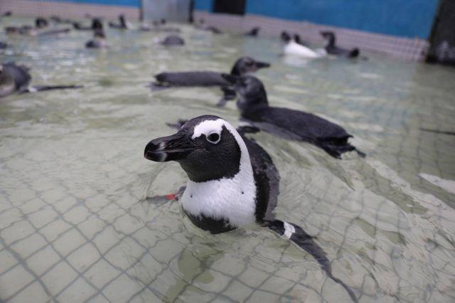 Georgia Aquarium Releases Rehabilitated African Penguins in South Africa