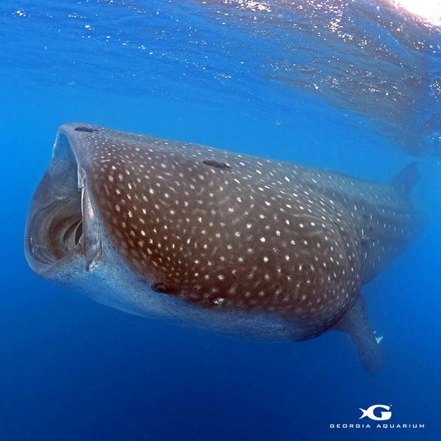 Ground-Breaking Whale Shark Research Brings International Non-Profits Together