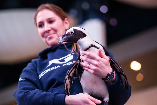 African Penguins In Need Receive Some Help From Atlanta
