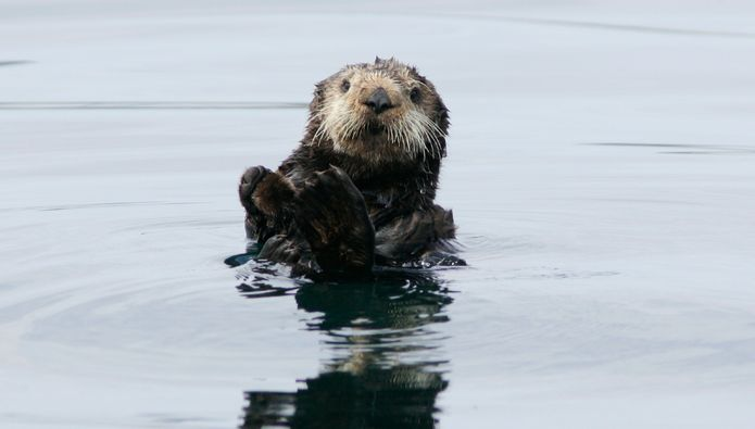 "Sea Otter Survey Encouraging, but Comes Up Short of the ""Perfect Story"""