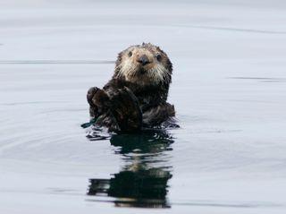 A wild southern sea otter© Monterey Bay Aquarium, Photo by Randy Wilder
