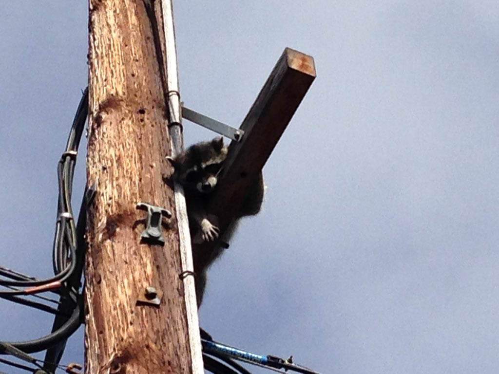 SCE Crew Rescues Raccoon