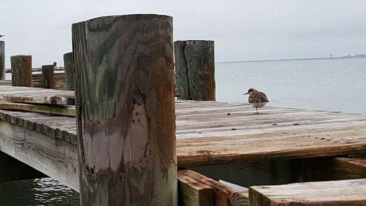 Bird at Pier